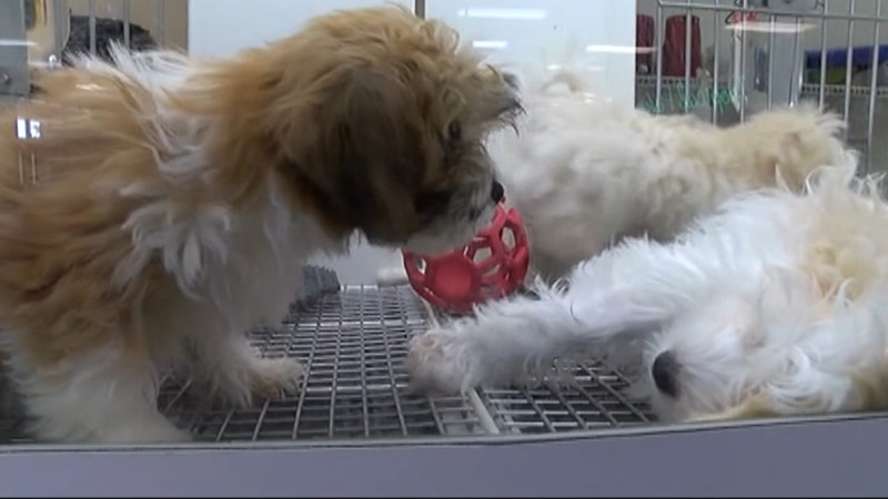Puppies in a cage at a pet store.