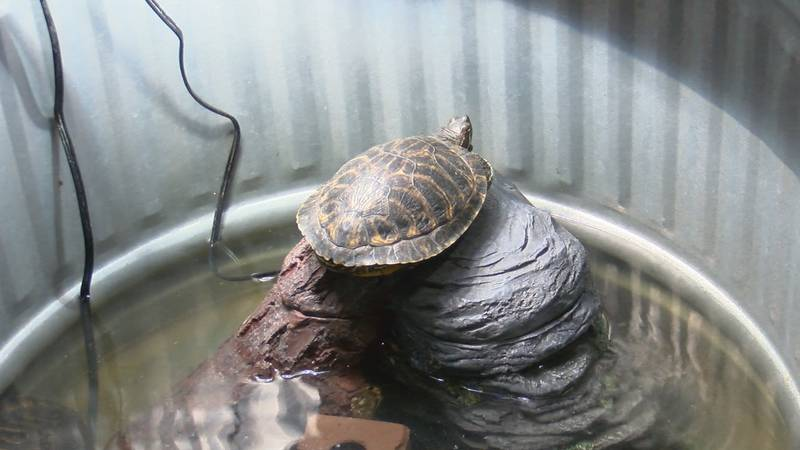 Turtles that were found fighting for their lives at a nearby lake in Amarillo continue to be...
