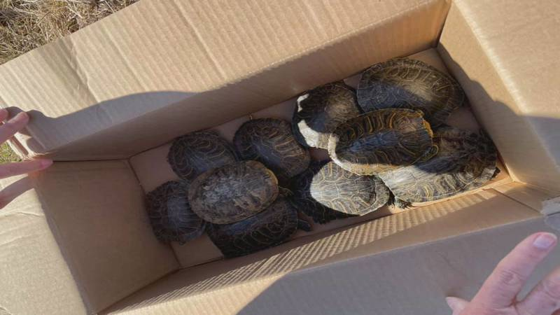 The women who found all the turtles called the Wildlife Rehabilitation Center and they came...