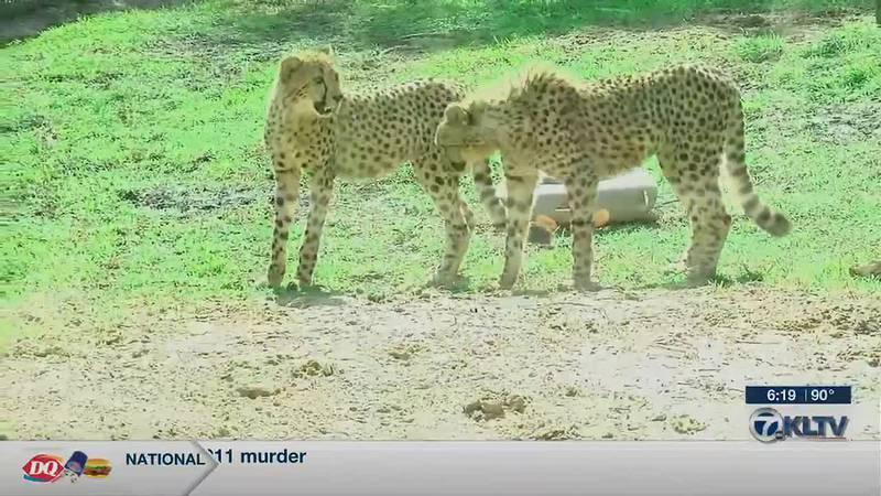 Cheetah Breeding
