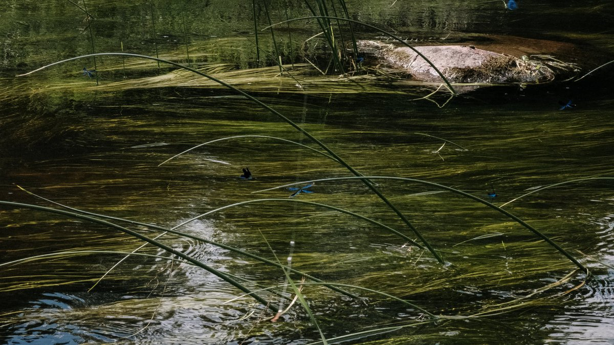 East Texas Ag News: Controlling weeds in your farm pond