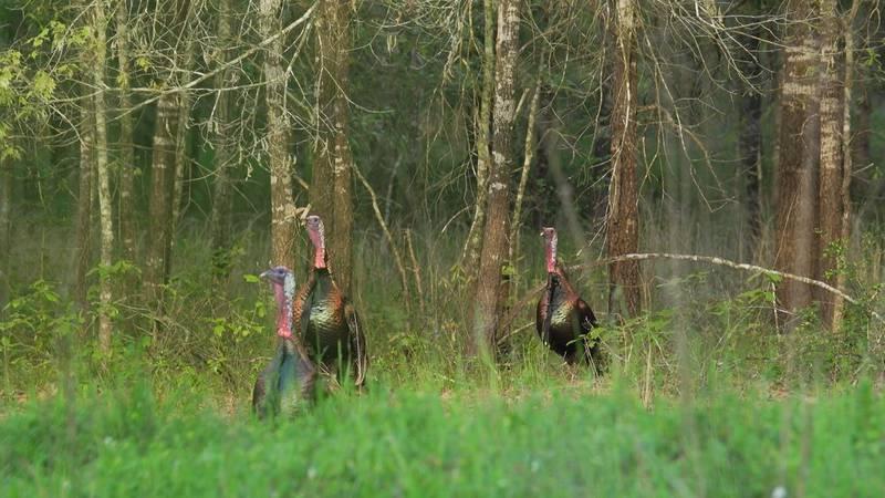 Wild Turkeys in East Texas.
