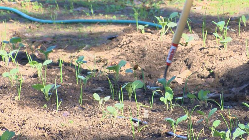 New community garden grows vegetables for those families that are in need in the community