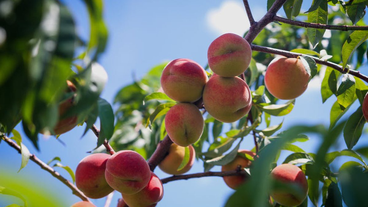 East Texas Ag News: Methods for starting fruit tree from seed