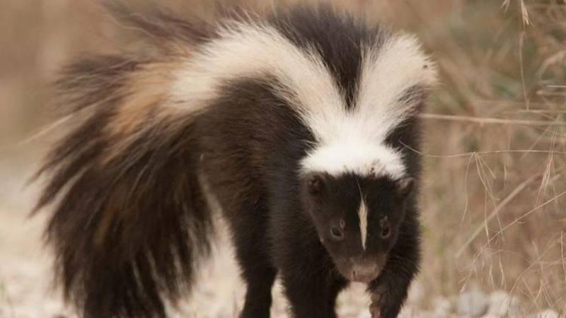 A fox bit a person at Sabino Canyon and a skunk bit a person in the Santa Ritas.