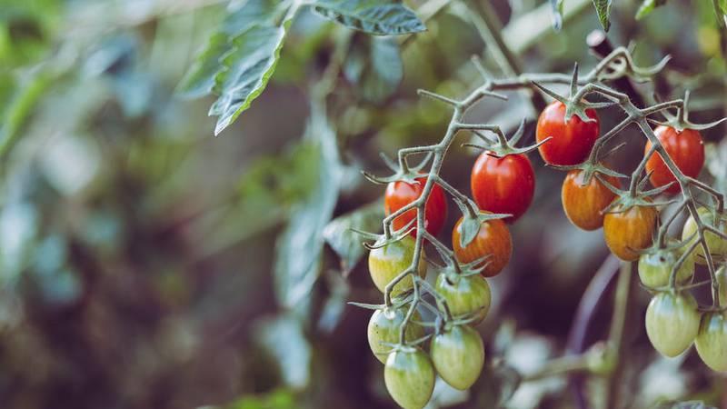 East Texas Ag News: Home gardens provide cheap abundant produce