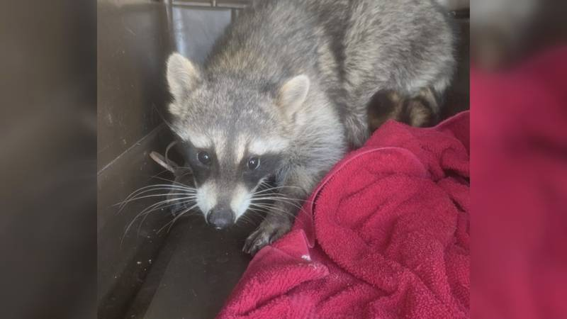 A raccoon was trapped and experts believe it was injured for days and possibly originally...