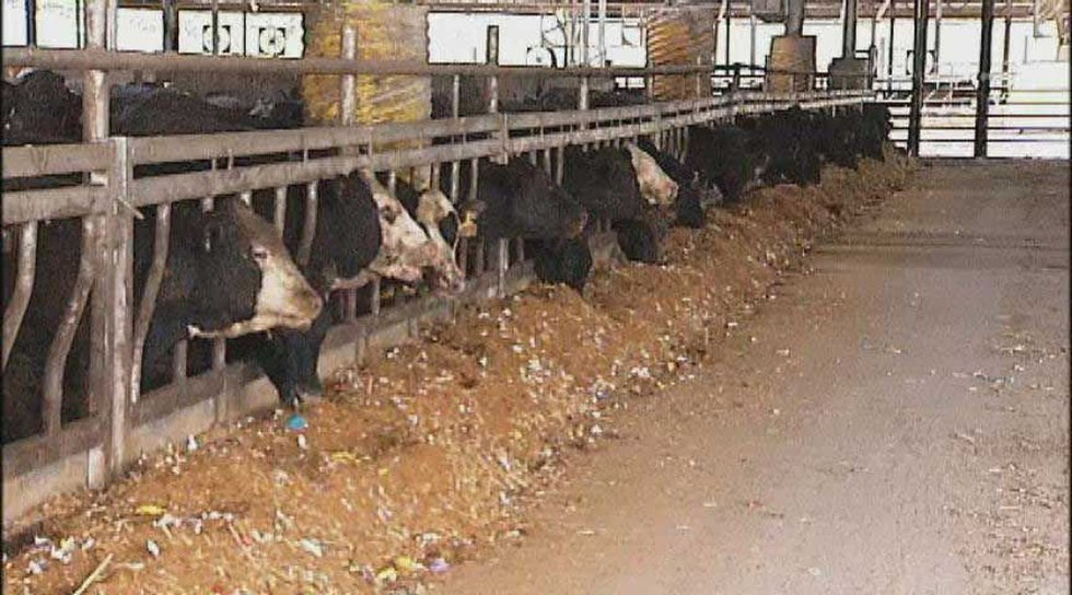 Cows eating the candy mix.