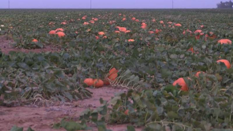 Floydada farmer says pumpkin crop will survive cold front and rain, but cotton can be more...