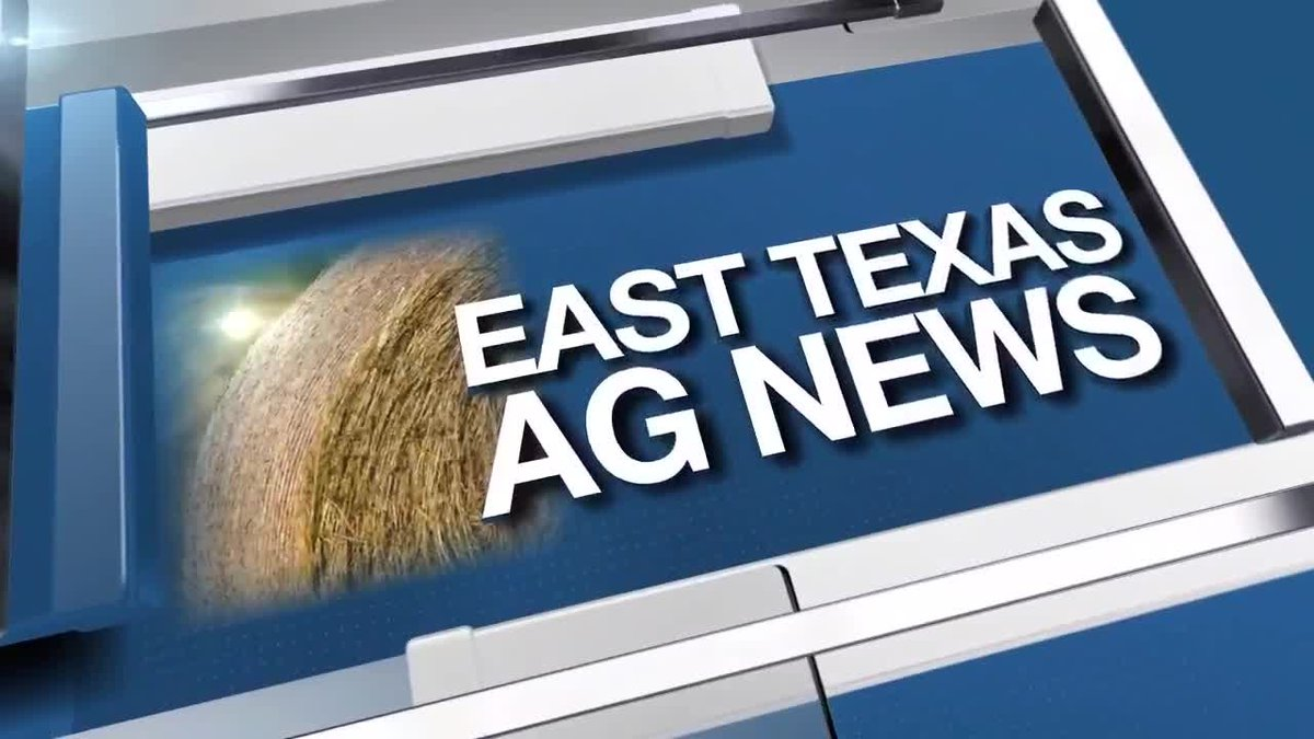 East Texas Ag News: Tips on polling horns on beef cattle