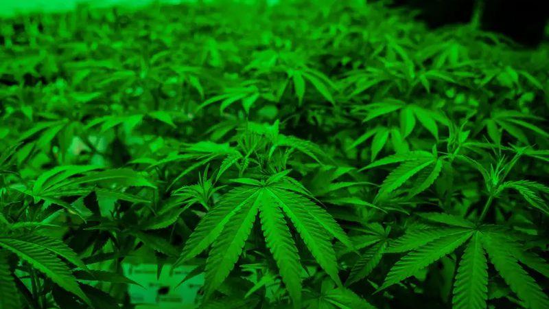 Newly planted marijuana plants at Texas Original Compassionate Cultivation Medical Marijuana...