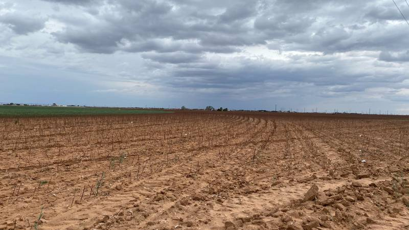 Lubbock growers say Wednesday night's rain settled the dust but won't make much of a difference...