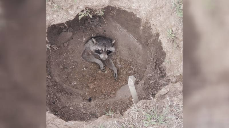 Two Canyon teenage boys were exploring a wooded area in South Canyon and found a raccoon buried...