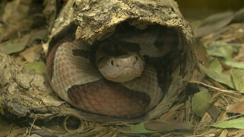 The Southern Copperhead snake is the most common venomous snake in East Texas.