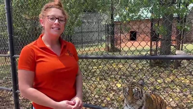 Tiger Creek Animal Shelter Director Emily Owen talks to KLTV about caring the oldest tiger in...