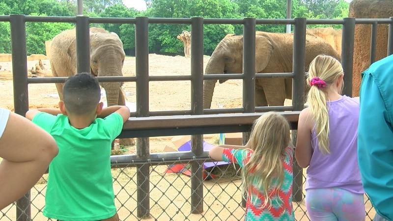 Kids watch as Caldwell Zoo elephants, Mac and Emanti eat their way through their birthday cake.