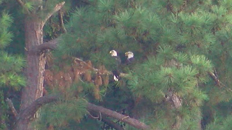According to Texas Parks and Wildlife, in Texas, bald eagles' nest from October to July,...