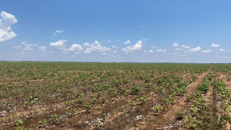 Heavy rain in May and June pulled us out of the drought, giving cotton producers a good start....