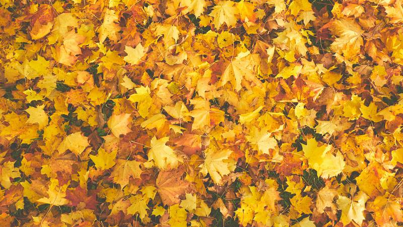 East Texas Ag News: Fall leaf and pine needles produce organic benefits for lawn